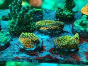 Montipora Rainbow SPS Meerwasser
