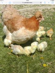 Sulmtaler Eier zuverkaufen