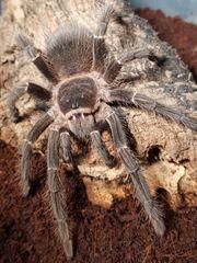 Lasiodora Parahybana 0 1 Weibchen