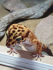 Leopardgecko Bock Mandarin 2020