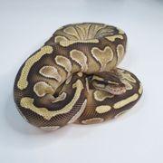 königspython Butter Yellow Belly Specter