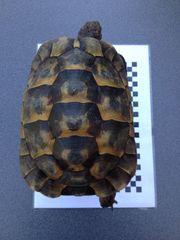 Wunderschöne Zuchtweibchen der Maurischen Landschildkröte