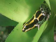 Raitomeya ventrimaculata