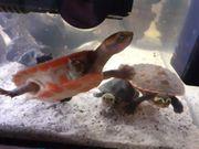 3 Rotbauchspitzkopfschildkröten