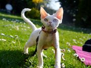 Junge wunderschöne Katzen Devon Rex