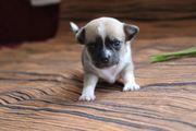 Wunderschöne kleine Chihuahua Welpen