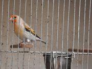 Stieglitz-Mischling-Weibchen
