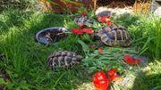 4 Griechische Landschildkröten sehr günstig