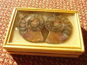 2x Ammoniten Hälften Fossilien