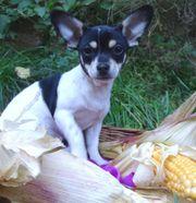 zauberhaftes Chihuahua-Mädel kurzhaar