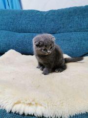 BKH Kätzchen