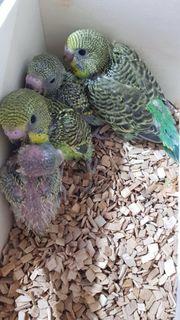 Junge Wellensittiche Papagei Küken Bunt