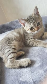 Bkh Kitten 1 Mädchen abgabebereit