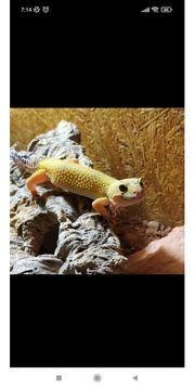 Leopardgecko 0 1 Super Hypo