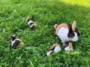 Holländer Kaninchen japanerfarbig