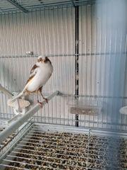 Yorkshire - Kanarienvögel