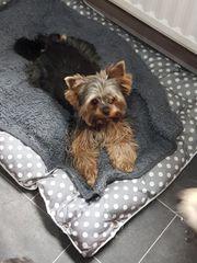 Wunderschöne 1 jährige Yorkshire Terrier