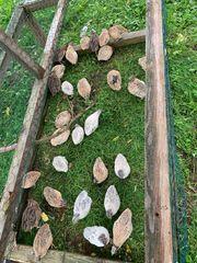 Wachteln Wachtel Eier Bruteier Küken