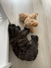 Yorkshire Terrier mit West Highland