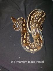 0 1 Königspython Phantom Black