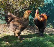 Hühner Hähne Hennen Hahn 1