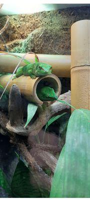 Suche Madagaskar-Taggecko Männchen