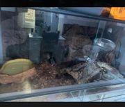 2Königspythons mit Terrarium