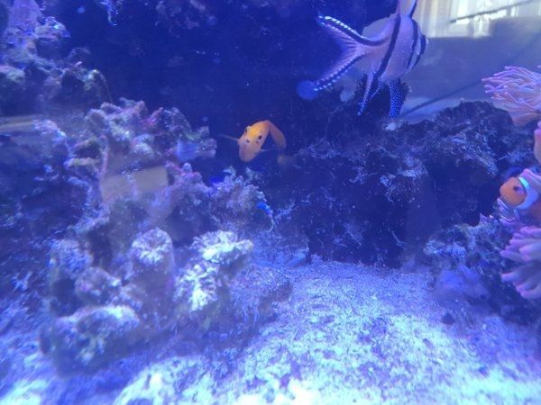 Zwergkaiser Orange Rücken Meerwasser Fisch