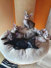 Zauberhafte OKH kitten