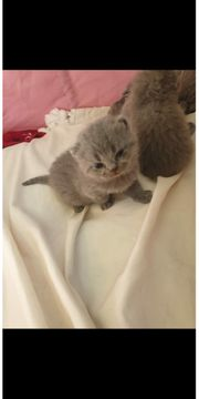 BKH British Kurzhaar Kitten