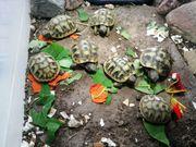 Griechische Landschildkröten THB Nachzucht 2019