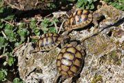Griechische Breitrandschildkröten - Testudo marginata