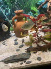 rote Piranhas