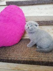 Süßen Scottishfold Kitten zu verkaufen