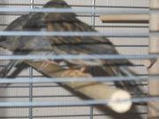 junge Achat Kanarienvögel