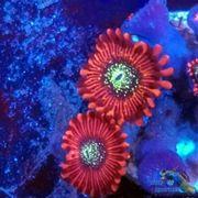 Zoanthus Krustenanemonen Meerwasser Korallen