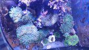 Eupyhllia Korallenableger Lps Muttertier Korallen