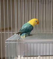 Agaporniden Yellowface Opalin Top Vögel