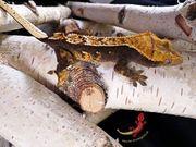 Kronengecko Weibchen adult 28g