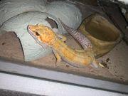 Leopardgecko Männchen W Y abzugeben