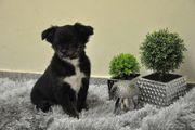 Klein bleibende Chihuahua Mischlinge