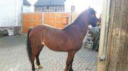 Hackney Pony zu verkaufen