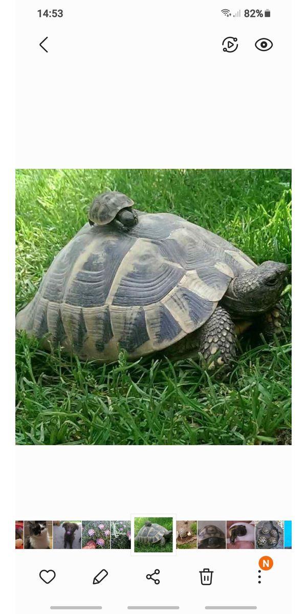 Schildkröten , thb