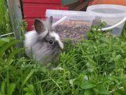 Löwenkopf Kaninchen 4 Monate