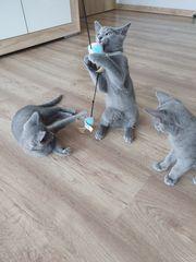 Kitten Russisch Blau mit Stammbaum