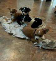 Chihuahuas Welpen zu verkaufen