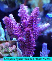 Meerwasser Korallen Ableger ab 10