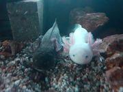Axolotl suchen ein zu Hause