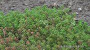 Mauerpfeffer immergrün und Wacholder winterhart