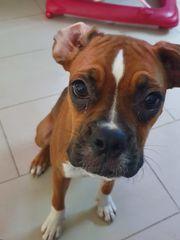 Boxer Hündin